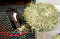 Honor Code, trained by Shug McGaughey, enjoys his hay snack. Honor Code is entered in the Breeders' Cup Classic (GI).