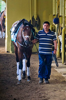 Palace Malice walks the shedrow at Belmont Park in preparation f