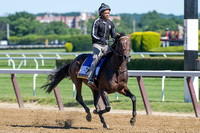 Exaggerator, early Belmont Stakes favorite, gallops with exercise rider Peedy Landry aboard at Belmont Park in Elmont, New York.
