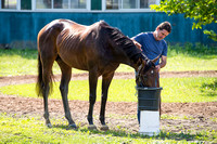 Early Belmont Stakes favorite Exaggerator, trained by Keith Desormeaux, drinks some water and is soothed before his bath at Belmont Park in Elmont New York.