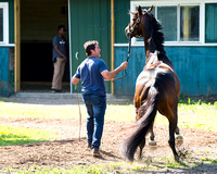 Early Belmont Stakes favorite Exaggerator, trained by Keith Desormeaux, acts up before his bath at Belmont Park in Elmont New York.
