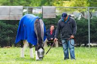 Mohaymen, trained by Kiaran McLaughlin, snacks on some grass after completing morning exercise in preparation for the Kentucky Derby at Churchill Downs in Louisville, Kentucky.