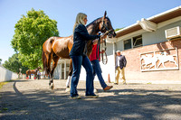 Belmont Stakes contender and early favorite Exaggerator, trained by Keith Desormeaux, during paddock schooling at Belmont Park in Elmont, New York.