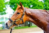 Kentucky Oaks 140 contender Rosalind gets a bath after morning exercise at Churchill Downs in Louisville, Kentucky.