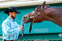 Firing Line gets soothed by assistant trainer Carlos Santamaria after morning preparations for the Preakness Stakes at Pimlico Race Course in Baltimore, Maryland.