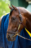 American Pharoah after his final gallop in preparation for the Preakness Stakes at Pimlico Race Course in Baltimore, Maryland.