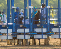 American Pharoah in the starting gate before winning the 147th Belmont Stakes (GI) and becoming the 12th Triple Crown winner at Belmont Park in Elmont, New York.